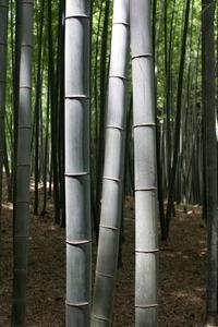 Arbre de Bambou à Kyoto, Japon.